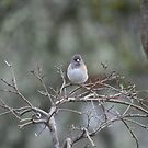 "Junco ""snowbird"" by SKNickel"