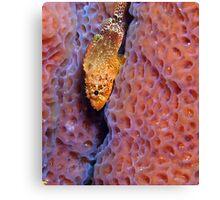 Rare Reef Scorpion Fish Canvas Print