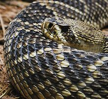 Eastern Diamondback Rattlesnake by Allison Rainey