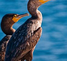 Great Cormorant at Henry Head, Botany Bay by Erik Schlogl