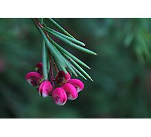 Pink Flower Buds Photographic Print