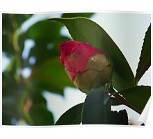 Camellia Bud Poster