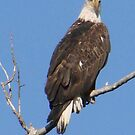 PNW Raptor - Bald Eagle by tkrosevear