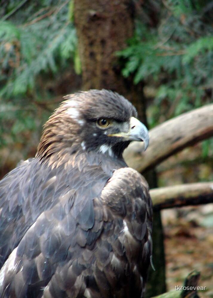 PNW Raptor - Golden Eagle by tkrosevear