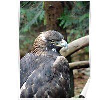 PNW Raptor - Golden Eagle Poster