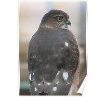 PNW Raptor - Merlin Falcon Poster