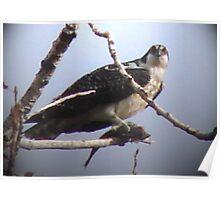 PNW Raptor - Osprey Poster