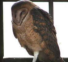 PNW Raptor - Barn Owl by tkrosevear