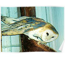 PNW Raptor - Barn Owl (Mystery) Poster