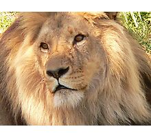 Lion at Melbourne Zoo IV Photographic Print