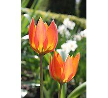 Tulip Couple Photographic Print