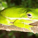 Green Tree Frog by DottieDees