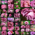 50 Angel Face Roses by Donna Adamski