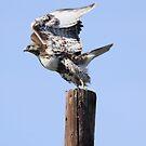 Hawk Take Off by Kimberly Palmer