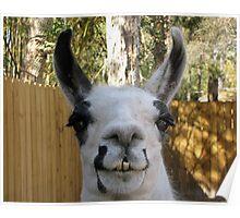The Llama Poster