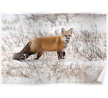 Red Fox Listening Poster