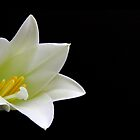 Easter Lily by Tracy Friesen