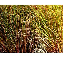 TALL fescue ^ Photographic Print