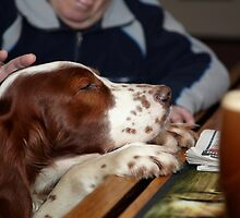 An Irish Red and White Setter at the Bar of a Public house  by Chris  Brookes