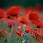 Views 9225 . Beautiful dancing poppy flowers.   A mnie jet szkoda lata. Andre Brown Sugar This image Has Been S O L D .  Fav 41 .  Buy what you like! Thx! by © Andrzej Goszcz,M.D. Ph.D