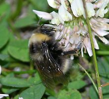 bumble bee by 1picturelady