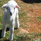 Spring Lamb by Darlene Lankford Honeycutt