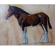 Clydesdale  Photographic Print