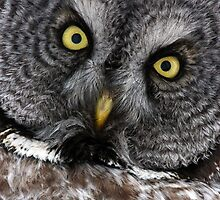 Great Grey Gaze, Transfixing by A.M. Ruttle