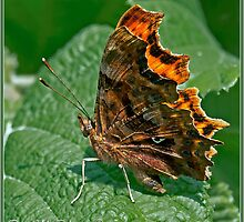 Comma Butterfly ( Polygonia c-album) (III) by DonMc