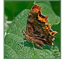 Comma Butterfly ( Polygonia c-album) (III) Photographic Print
