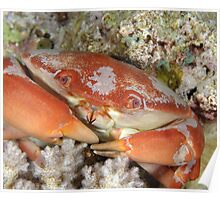 Reef Crab Poster