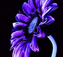 Purple Passion  by PamelaJoPhoto