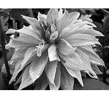 Raindrops on a lovely Dahlia  Photographic Print