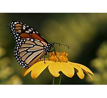 Monarch Butterfly 3 Photographic Print