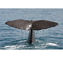 Sperm Whale Sounding Photographic Print