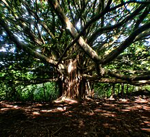 The Banyan Tree by Photophatty67