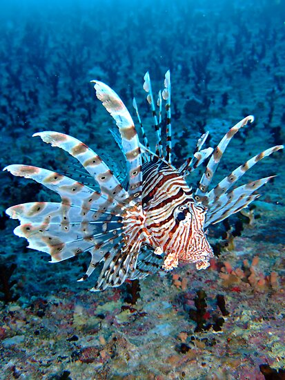 Lionfish by cooperscuba