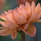 Macro Dahlia by ionclad