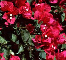 Bougainvillea by Roger Otto