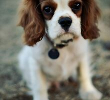 Cavalier King Charles Spaniel by SD Smart