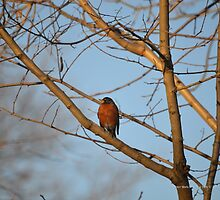 Turdus Migratorius - American Robin | Center Moriches, New York  by © Sophie W. Smith