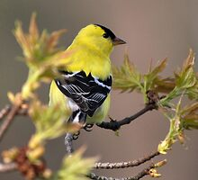 American Gold Finch by Gaby Swanson  Photography