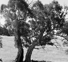 'YOU WANTED TO SEPERATE!'. Gum tree. by Rita Blom