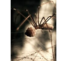 Pholcidae with eggs Photographic Print