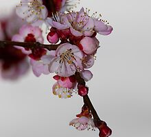 Apricot Flowers II by Marc Garrido Clotet