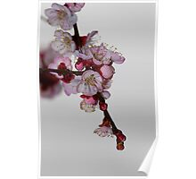 Apricot Flowers II Poster