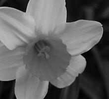 Daffodil in Black & White by Victoria Jostes