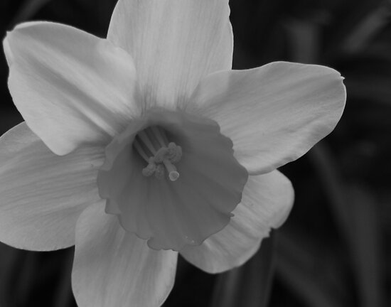 Daffodil in Black & White by Victoria Jostes