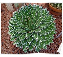 Queen Victoria Agave Poster
