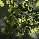 Backlit Leaf's by Robert Kendall